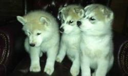 We have a litter of beautiful bright blue eyed akc Siberian husky puppies. We have 1males and 1 females. They were born on July 5th 2012. They have full AKC paperwork, generational sheet,and will go home with shot record and info package along with food