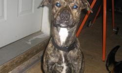 """""""Rex"""" is a 2-3 yr. old male boxer mix. Healthy. Very sweet dog. He is great with kids, and good around other dogs. We have 3 dogs and need to downsize. Must see! Would make a great pet."""