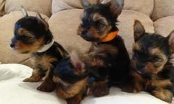 Male baby doll face yorkshire terrier male puppies, born 11-16-12, they will be ready after the New Years, call to see when they can go to their new homes.   All of the puppies have small square bodies, and they look like they will be around 4
