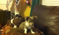 I have a besutiful blue long haired chihuahua. He had white and tan markings. He is CKC registered. He had been wormed and had his 3rd set of shots. He was 15 weeks old on the 23rd. He is well socialized. He will go out the doggy door to go potty or use