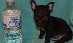 We have 2 male chihuahuas that are ready for their new home now! Both boys are black and look like twins! These little guys are 8 weeks old. Both have been vet checked, UTD on shots & wormings. They will come with a puppy pack, blanket,