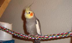I have a hand tamed male cockatiel that I need to rehome. He is very calm and doesn't bite. He does get hyper at times. Call/txt 224-387-6388 if interested. He is about a year old. I unfortunately don't have the time for him and need some room so he needs