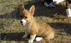 Male Corgi puppy . All shots and worming are up to date, for more info please call 903-227-8858 Looking for a wonderful home and big yard .