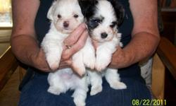 We have 1 puppy left that will be available 10/1/11, AKC registered, excellent bloodlines, good natured. They love people and are non shedding small lap dogs.
