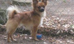 I have available a 1 yr old male long hair chihuahua. He has a beautiful red coat with a black muzzle. I'm selling him because my females are 4.4 lbs and 4.12 lbs and he is slightly to big to breed with them. He weighs approximately 5.5 lbs. He is a