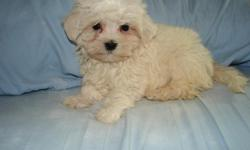 Malti-Poo puppies-Maltese/Poodle. Very sweet, Adorable, puppies that loves to play. Mom is the Poodle and Dad is the Maltese. They are very cute, they love to play and are ready to go to their new homes. They have had their First set of Shots and been