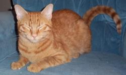 Male, Orange, very affectionate and loveable, Declawed All cats come spayed and neutered $20 adoption fee which includes Avid Microchip & Registration Call 561-784-1302 for more info ask for Steve