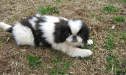 He is a very adorable Pekingese/Japanese Chin mix puppy. He was born 11-5-10 and is up to date on shots and wormed. He is ready for his new home and will make a great addition! Must see! $300 OBO If interested call (252)336-4390