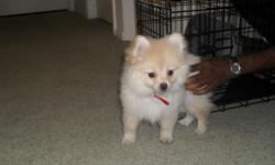 Adorable Male Pomeranian Puppy for $1,500 (negotiable)!! The puppy comes with the following: Certificate of Pedigree Neuter Certificate Microchip Documentation puppy pads kennel dog food puppy snacks stain and odor remover leash shampoo Color: Cream DOB