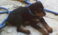 MALE Registered German Rottweiler puppy. 14 weeks old. Shots are up to date. This puppy is out of BARON_VON-DER-ADALARD-RA' AND SANDY SHATZIE VOM SEGAN. THREE GENERATION PEDIGREE INCLUDED. We are located in Heavener Oklahoma. my5.rotties@gmail.com Phone #