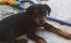 MALE Registered German Rottweiler puppy. 12 weeks old. Shots are up to date. THREE GENERATION PEDIGREE INCLUDED. walks good on leash,comes when called,loves baths, travels very good. HOUSEBROKEN. We are located in Heavener Oklahoma. my5.rotties@gmail.com