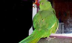 I have a male Indian Ringneck for sale. 1 1/2 years old. Please call 913 713 8767