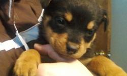 2 Male rottweiler puppies located in the Franklinville area...$150 per pup. They have all there shots, De-wormed and vet checked with papers.Please Call Jim at 931-503-2222 for more questions. Thank you