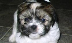 I have one adorable little boy puppy who desperately needs a family to love him. He is a pure bred puppy (no papers). He is 10 weeks old. He has gotten his first shot and has a health certificate. He is black and white striped with the cutest little face.