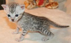 Gorgeous Male Silver Bengal Kitten will be ready for it's new loving home on Sept 28th. TICA, vaccinations up to date, litter trained & well socialized. We are taking deposits on this gorgeous little boy now. For more information visit our website at