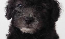 Description I have two adorable, black toy poodle puppies. These little boys are a little over 8 weeks old and will come with deworming medicine. They do not have any vaccines yet. I got these pups from a bad environment and need to find them new homes.