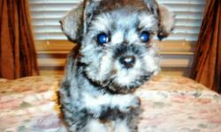 He is a very small and sweet toy Schnauzer puppy! He weighs 2 pounds. He was born 10-12-12 and is current on shots and wormings. He will make a great addition! Schnauzers are known to be very smart dogs, great with kids, and hypo-allergenic. They make