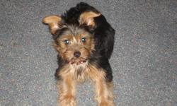 Black and gold Yorkie Puppy.Born on Nov 19,2010. AKC Registered.Have papers for him.Call 785-230-8937