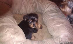 Male yorkie 4 months old.call --
