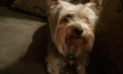Male yorkie, 3 years old. Fullbred with papers and microchip. Is housetrained. Approximate weight 7 lbs. Very loving and good with children.