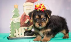 Have several little male yorkies ready for Christmas.  These little Yorkshire Terriers are brothers. They are beautiful, up to date on shots and wormings and very healthy. Call me at --