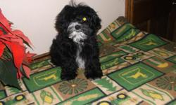 Very adorable Yorkiepoo puppy available now. blk/ with a little white. nice full coat, Non shed, Hypo allergenic. up to date on all vaccinations, dewormings, and health guaranteed. $450.00 call for more information at 561-996-4827 for more information. No