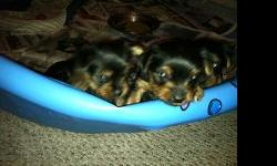 I have two male Yorkies left for Christmas puppies. They will be ready to go to new homes December 21st.. They will be eight weeks old. Have been dewormed and will have there first shots. Tails docked and dew claws removed. They are UKC registered. You