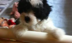 BEAUTIFUL MALTESE - TOY POODLE PUPPIES! These are hypoallergenic, crate trained, paper trained, great with kids and really are the perfect companion. They are 10 weeks old, vet checked and 1st shots. call -