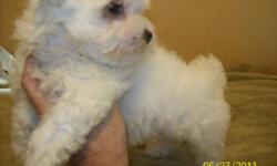 9 week old Maltese male. Current on shots, comes with health guarantee. Non shed, will weigh about 7 pounds when grown.