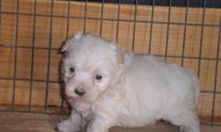 3 maltese puppies 2 male 1 female. they will be ready july 15 they bring health certificate and first set vaccine and ukc register.