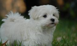 Hi,,, we have one male puppy 12 weeks old,, very sweet and playful,,for more inf. call any time 530-321-1344 thank you.