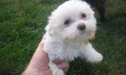 Adorable, active and playful akc maltese males and females....From $500 and up born middle of May...small father. ready now for a good home ..... 360 330 1387