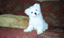 """>  """"Add A little Love In Your Home"""" GET A PUPPY ! >  Maltese Babies >  Beautiful Little Babies. Both Boys and girls, white balls of fur. well socialized with people. eating Royal Canine Puppy food. DOB 1/13/11 CKC registered, puppy shots, Small- should be"""