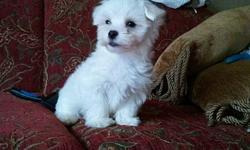 >  Maltese Babies >  Precious Little Babies. Both Boys and girls, Short legged ,white balls of fur. well socialized with people. eating Royal Canine Puppy food. DOB 1/3/11 CKC registered, puppy shots, Small- should be around 5-6 grown Potty pad trained.