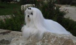 I have Maltese puppies. They will come with there puppy shots, the puppy food. I have only males. Will grown 8 pounds full grown. I have both there papas in site.... Maltese have no undercoat, and have little to no shedding if cared for properly. Please