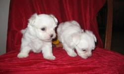 Registered ice-white maltese puppies, well bred,with health certificates, happy,healthy home raised, should be about 5 lbs. when full grown. Email to tinytnpups@hotmail.com for more info.