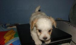 CKC , register maltese puppies 8 weeks old. 1st. shots , very healty and playful.