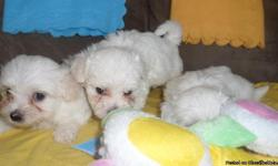 hello i have 2 cuties left , they are 7 weeks old maltese, great dogs,The Maltese is spirited, lively and playful. Gentle, loving, trusting and devoted to its master. Highly intelligent. Good at learning tricks. Bold and quick to sound the alarm in case
