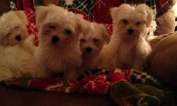 Maltese puppies ready just in time for Christmas. Vet checked, 2 male and 2 female. Home raised with lots of attention. $550.00 call --.