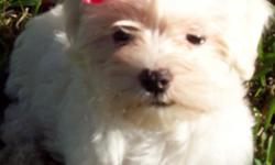 I have a litter of purebred CKC registerable Maltese puppies for sale. 1 tiny female priced at $475 and 2 bouncy boys for $425 each. They have had their shots, worming, and will have a health certificate. Also they will come with a baby blanket with their