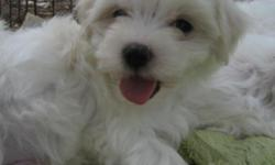 Just one 10 week old baby left. CKC registered. Second set of shots and wormings. Very sweet playful little guy. Raised under foot. $350 Clover, SC. 803-417-9159 No shipping. Willing to trade for another male maltese.