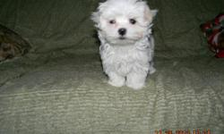 AKC/APRI: You will see a difference in ourBeautiful Maltese pups with nice black points, from APRI Champion sire. Being offered as pets to loving pet homes.Vet checked-clean bill of health, numerous wormings, dews done. These pups