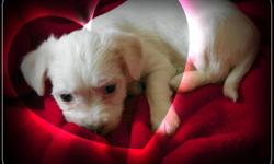 Have one Male Left. Needs a good home, Great for Valentines Gift. He is 6 weeks old solid white. Looks more Maltese than rat terrier. .