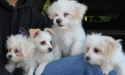 Two male and female puppies need lovely home. Thanks! Please call 415-601-8199 or e-mail w_hoo@yahoo.com