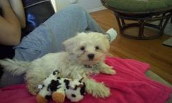 Almost 12 week old 3/4 Maltese, 1/4 Shih Tzu mix. She has had her second set of shots. Unfortuantely, because of the unexpected turns in life, we can no longer care for her. She does come with everything.. (i.e. bed, food, bowls, leash, collar, treats,