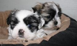 Adorable Maltese and Shih tzu Mix puppies. 1 male and 1 female left, 1st shots and dewormed. Will be ready to go to their new homes May 26th. Deposits welcomed.