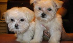 I have two very small female ,off white color, half Maltese & half Shih Tzu. These girls are 12 weeks old and have 2 sets of shots and have been deowmred several times. They are extremely friendly and well behaved. They will be evry small when mature