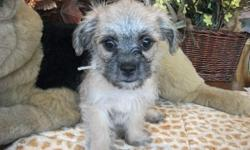 A malti-grif is a cross between a Maltese and a Brussels Griffon. These little guys are very playful and love to cuddle as well.