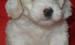 MaltiPoo, Male, Small, $375.00 Firm, MORE DETAILS AND PHOTOS AT....619-408-4214