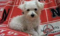This little girl we have keep around for awhile due to her size. We are confident that at her age she is able to be sold to a loving home. She will not get any larger as she is currently 6 months old. The Malti Poo can get along well with dogs and other